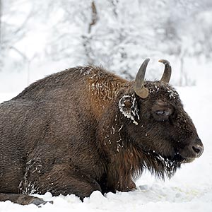 Bison in Malmanstal tract, Maidan village