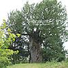 The 1000-year-old oak tree (one of the oldest ones in Ukraine) in Veryn village