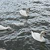 Лебеді у р. Вісла