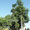 400 year old oak