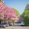 Цвітіння сакури в Ужгороді
